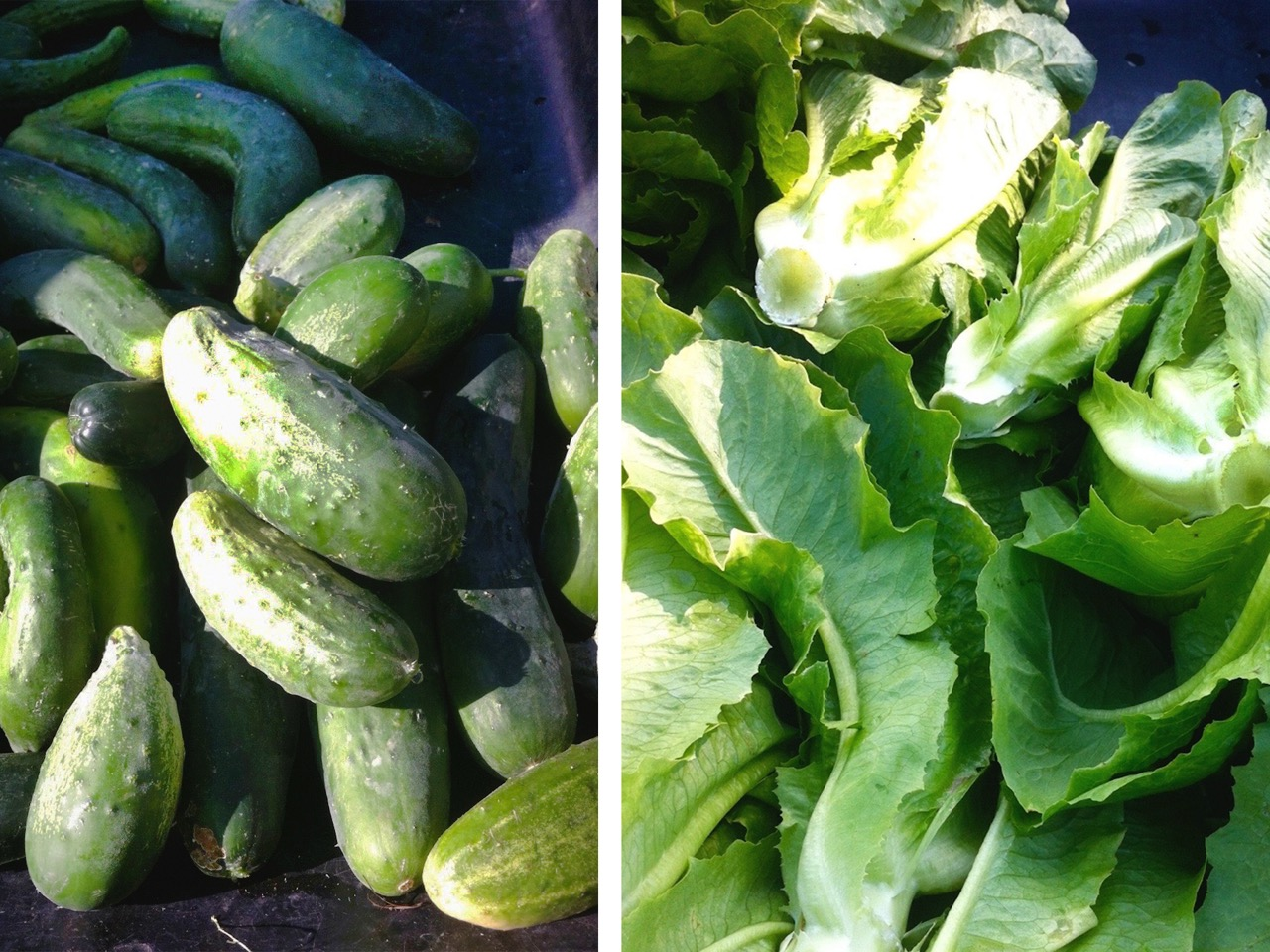 gleaning healthy vegetables