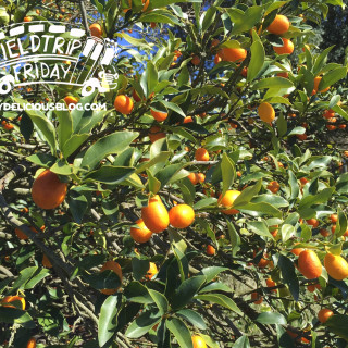 Field Trip Friday – Kumquat Growers Festival