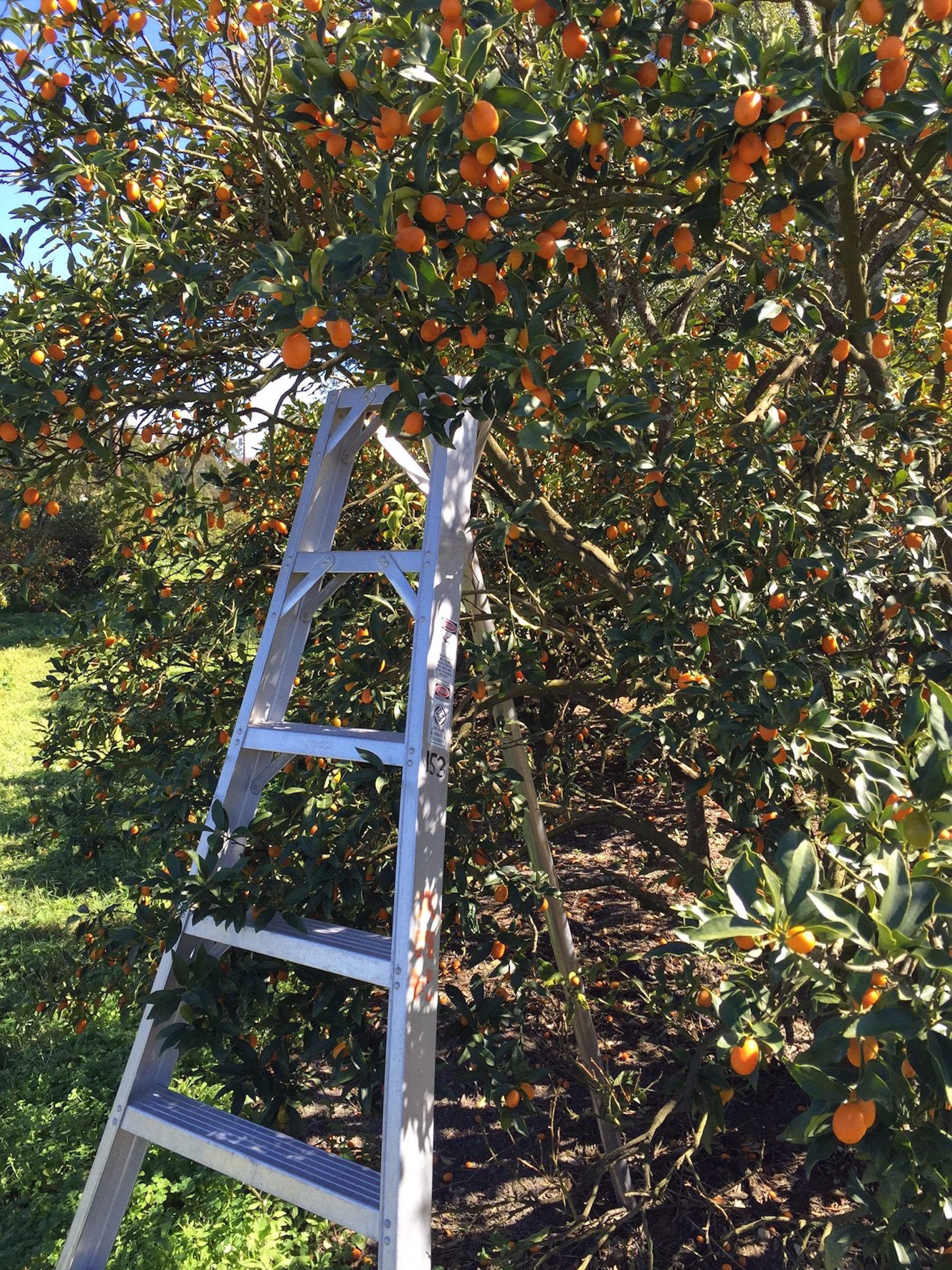 kumquat grove ladder