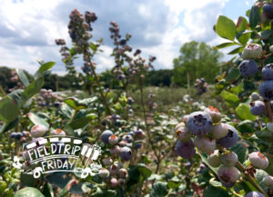 Field Trip Friday Blueberry Picking