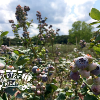 Field Trip Friday – Blueberry Picking