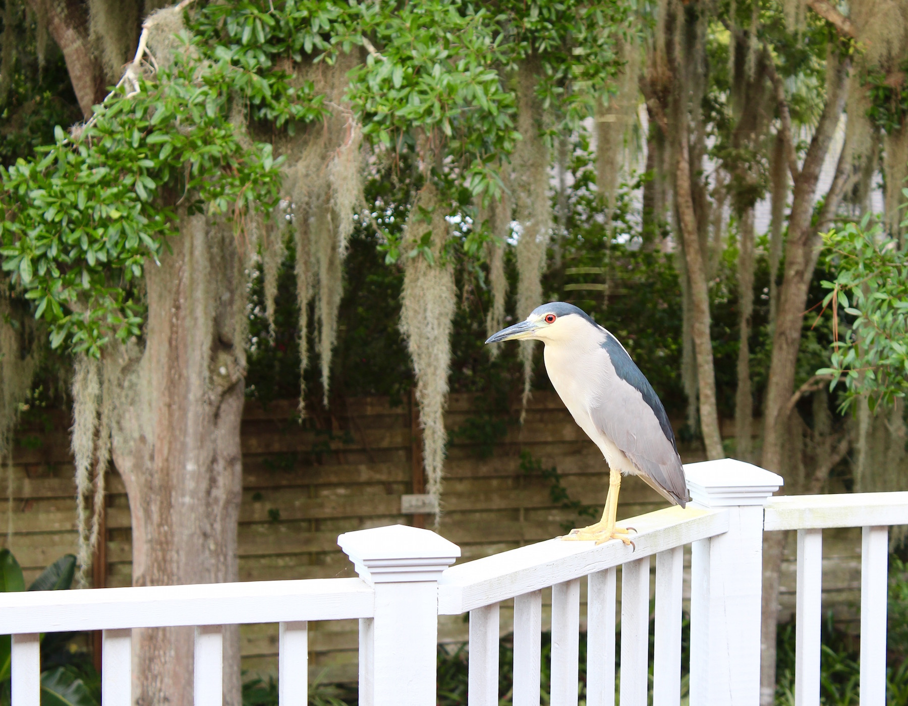 night heron on deck