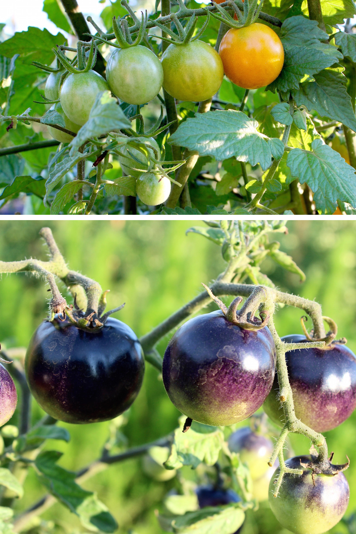 heirloom purple tomatoes
