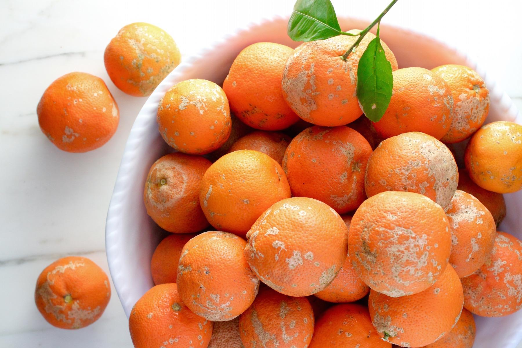 Seville Oranges Florida