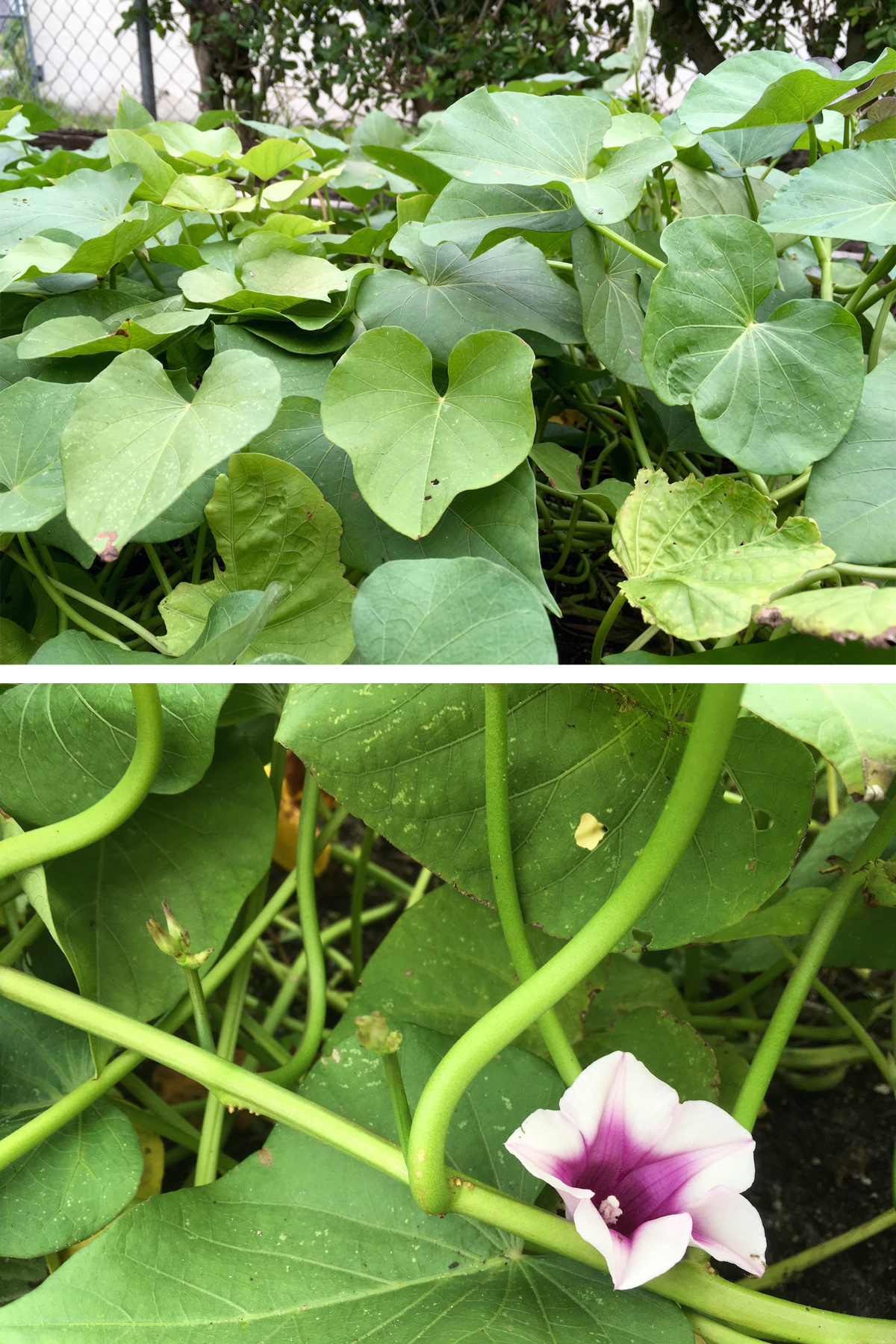 Edible Sweet Potato Vines