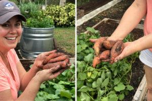 Sweet Potatoes in Garden