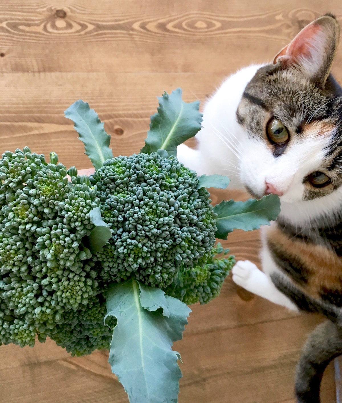 Broccoli and kitty