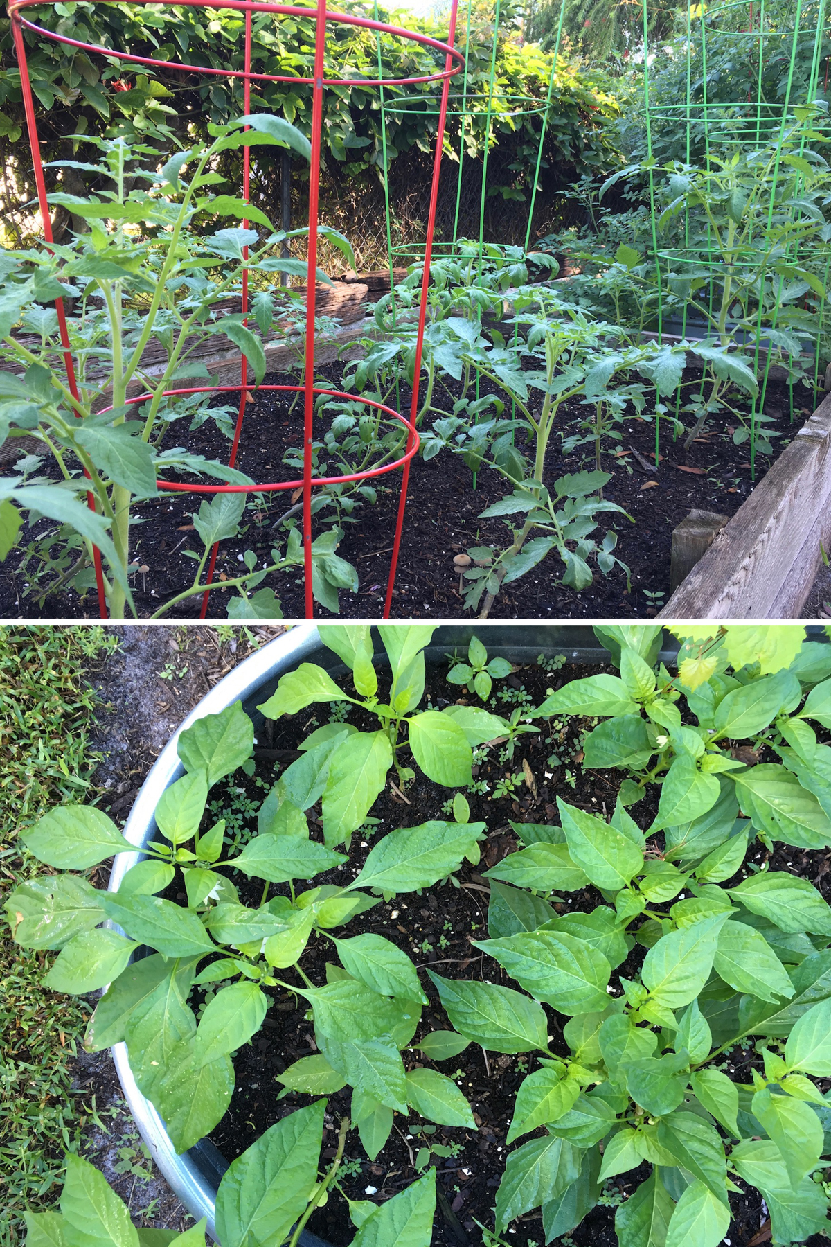 Pepper and tomato plants florida garden