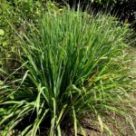 Lemongrass in garden